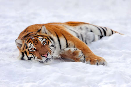 Close wild siberian tiger in winter time