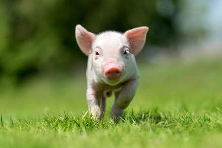 Photo pour Newborn piglet on spring green grass on a farm - image libre de droit