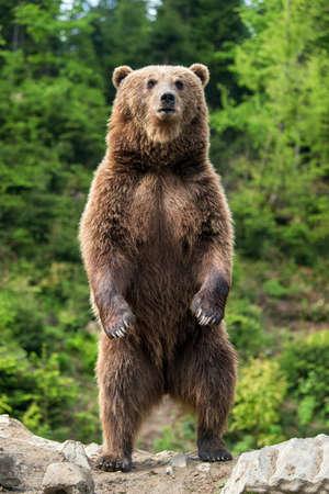 Foto de Brown bear (Ursus arctos) standing on his hind legs in the spring forest - Imagen libre de derechos
