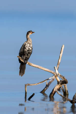 Cormorant microcarbo melanoleucos perched on a branch in lake