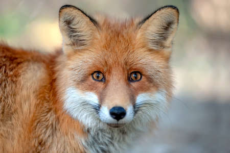 Close up funny young red fox portrait