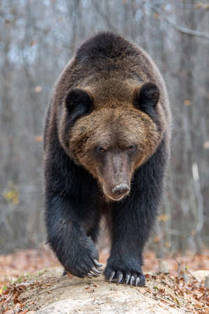 Foto per Close up big brown bear in autumn forest - Immagine Royalty Free
