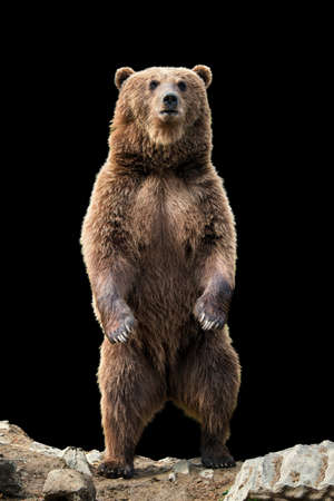 Foto de Brown bear (Ursus arctos) standing on his hind legs on the black background - Imagen libre de derechos
