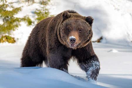 Foto de Close wild big brown bear in winter forest - Imagen libre de derechos