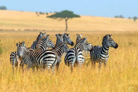 Photo for Zebra on grassland in Africa, National park of Kenya - Royalty Free Image