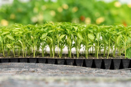 Photo pour Small seedlings growing in the greenhouse garden - image libre de droit