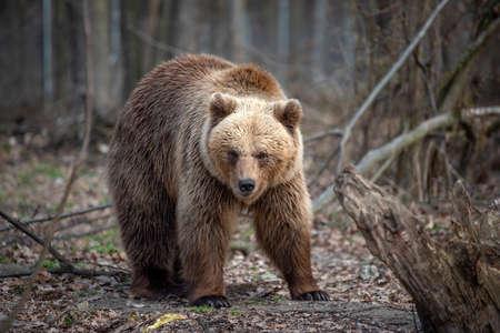 Photo pour Close up big brown bear in spring forest - image libre de droit