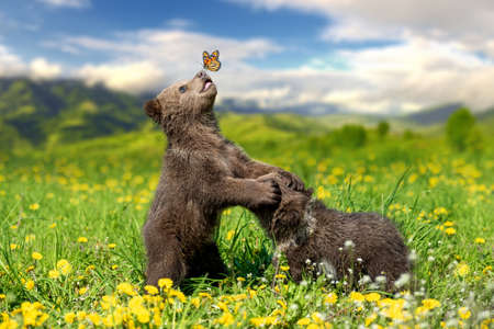Foto de Brown bear cub playing on the summer mountain with butterfly. Ursus arctos in grass with yellow flowers - Imagen libre de derechos