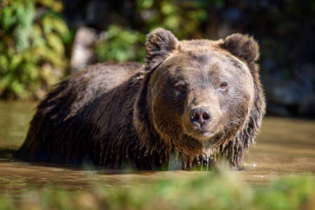 Photo pour Bear in water. Beautiful animal in forest lake. Dangerous animals in river. Wildlife scene with Ursus arctos - image libre de droit