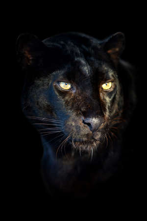 Photo for Close up beautiful angry big Black leopard isolated on black background - Royalty Free Image