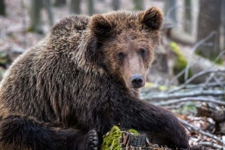 Photo pour Brown bear in the forest up close. Wildlife scene from spring nature. Wild animal in the natural habitat - image libre de droit