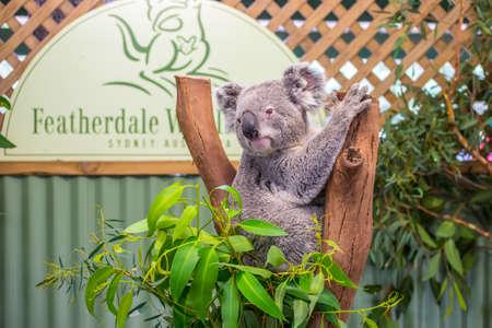Doonside, Australia - November 10, 2014: Cute Koala in Featherdale Wildlife Park, Doonside, Australia.