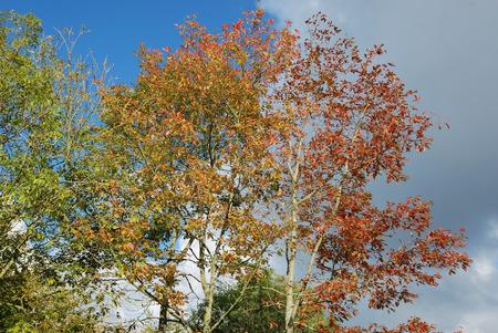 Photo pour Tree in autumn colors - image libre de droit