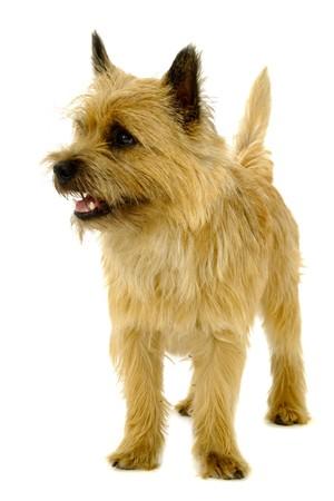 cairn terrier ロイヤリティフリー素材 高品質ストックフォトの