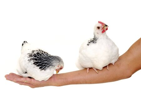 Two chickens is sitting on an arm of a woman.