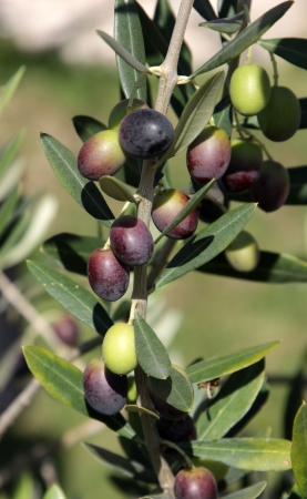 Olives still on the branch of an Olive tree in Italy