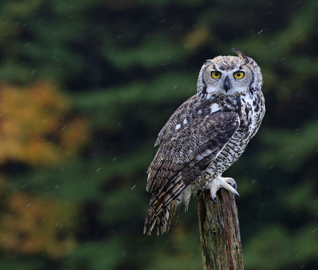 A Great Horned Owl (Bubo virginianus) sitting on a post with rain falling in the background.