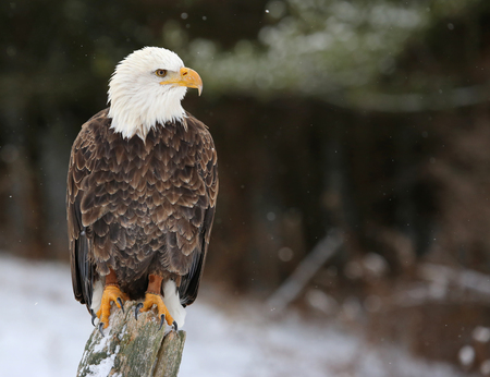 A stern looking Bald Eagle (haliaeetus leucocephalus) perched on a post with snow falling.