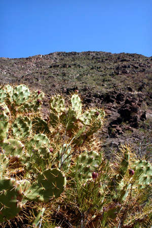 Cactus in the wilderness of Lanzarote
