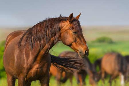 Photo pour Portrait of red horse in herd on spring pasture - image libre de droit