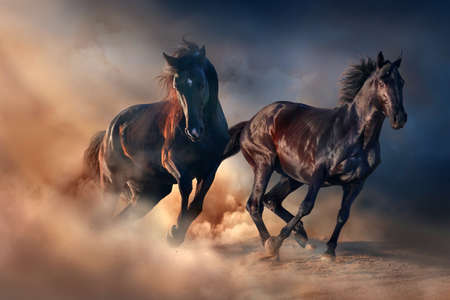 Two black stallion run at sunset in desert dust