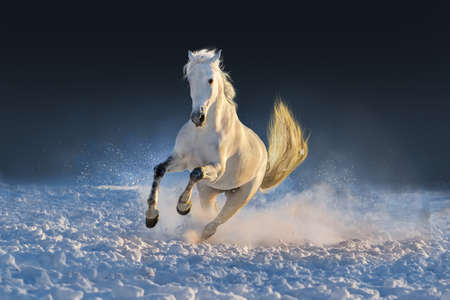 White horse run in snow at sunset