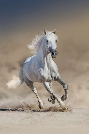 Photo pour White horse with long mane run in desert dust - image libre de droit