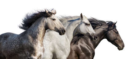 Photo for Horse herd portrait run gallop isolated on white background - Royalty Free Image