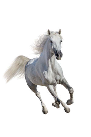 Photo pour White andalusian horse with long mane run gallop isolated on white background - image libre de droit