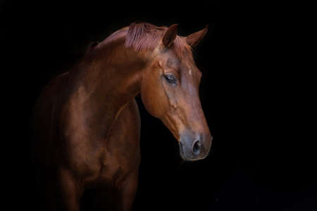 Photo for Beautiful red horse portrait on black background - Royalty Free Image