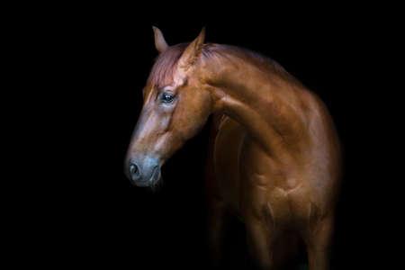 Photo pour Beautiful red horse portrait isolated on black background - image libre de droit