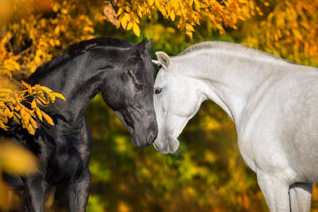 Photo pour White and black horses - image libre de droit