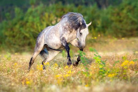 Photo pour Arabian horse run gallop in flowers meadow - image libre de droit