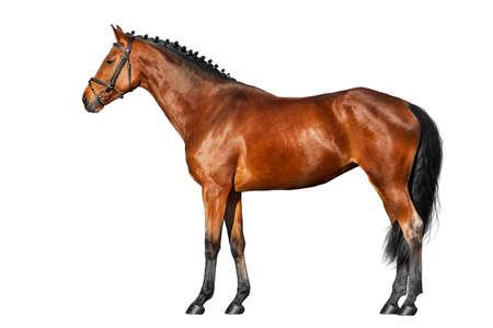 Photo pour Bay horse exterior isolated on white background - image libre de droit