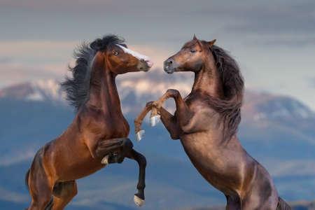 Photo pour Two horse portrait rearing up outdoor - image libre de droit