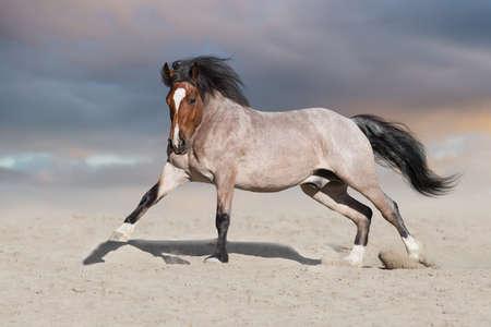 Photo pour Bay horse run on desert dust - image libre de droit