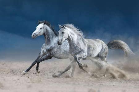 Photo pour Two grey horse galloping on sandy dust - image libre de droit
