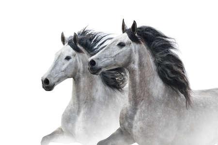 Two grey horse couple portrait on white. High key image