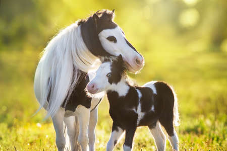 Photo pour Beautiful piebald pony foal with mareoin green pasture - image libre de droit