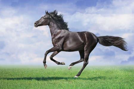 Photo pour Black Horse run gallop on spring green meadow - image libre de droit