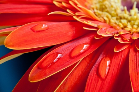 Red gebera flower close up with water drops on the petal