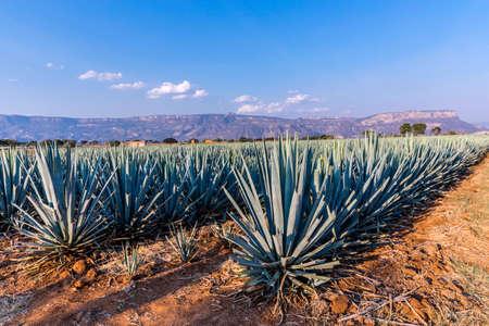 Photo pour Landscape of planting of agave plants to produce tequila - image libre de droit