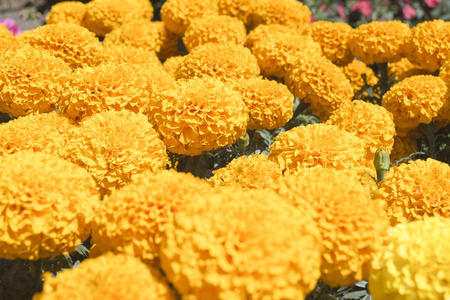 Bright yellow, the stem of marigolds can grow up to one meter high, while its buttons can reach five feet in diameter. Therefore the Aztecs, during the pre-Hispanic era, chose to clog with hundreds of flowersaltars, offerings and burials dedicated to thei