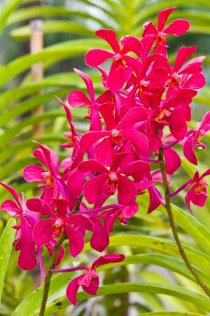 Blossom red vanda orchids in