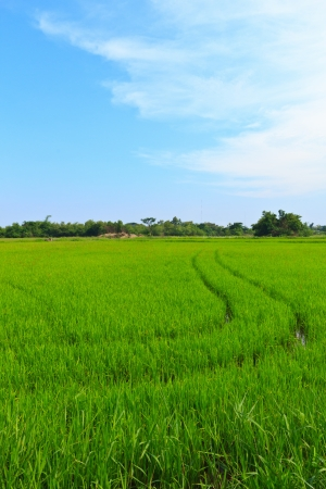 Natural field of rice and bl