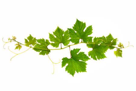 Photo pour Fresh branch of grape vine on white background - image libre de droit