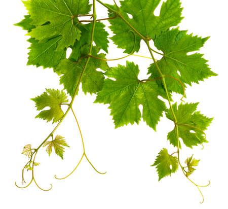 Foto für Fresh branch of grape vine on white background - Lizenzfreies Bild