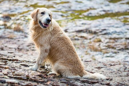 Golden retriever face dog with smile, Le muy, France