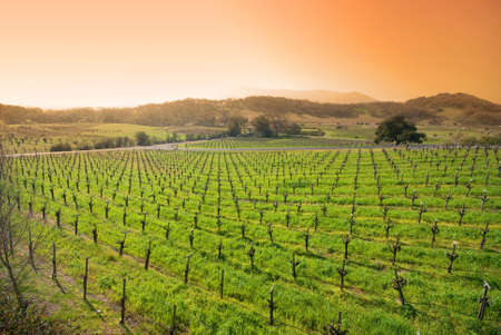 vineyard in the wine growing region of Napa in California.