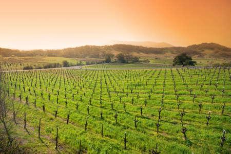 vineyard in the wine growing region of Napa in California.